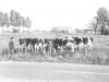 koeienmelken-in-de-wei-in-de-veldhoven-1970