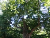 Spaaneindsestraat lindeboom